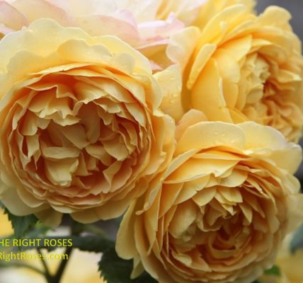 Rose Golden Celebration The Right Roses Best Garden Shop Store rose review experience top yellow power tools english david austin