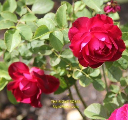 Rose Munstead Wood Best Garden Store english david austin the right roses review experience top