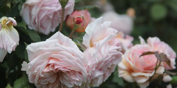 A Shropshire Lad rose review the right roses score best top garden store david austin english roses rose products rose rating the right leap rose food fertilizer