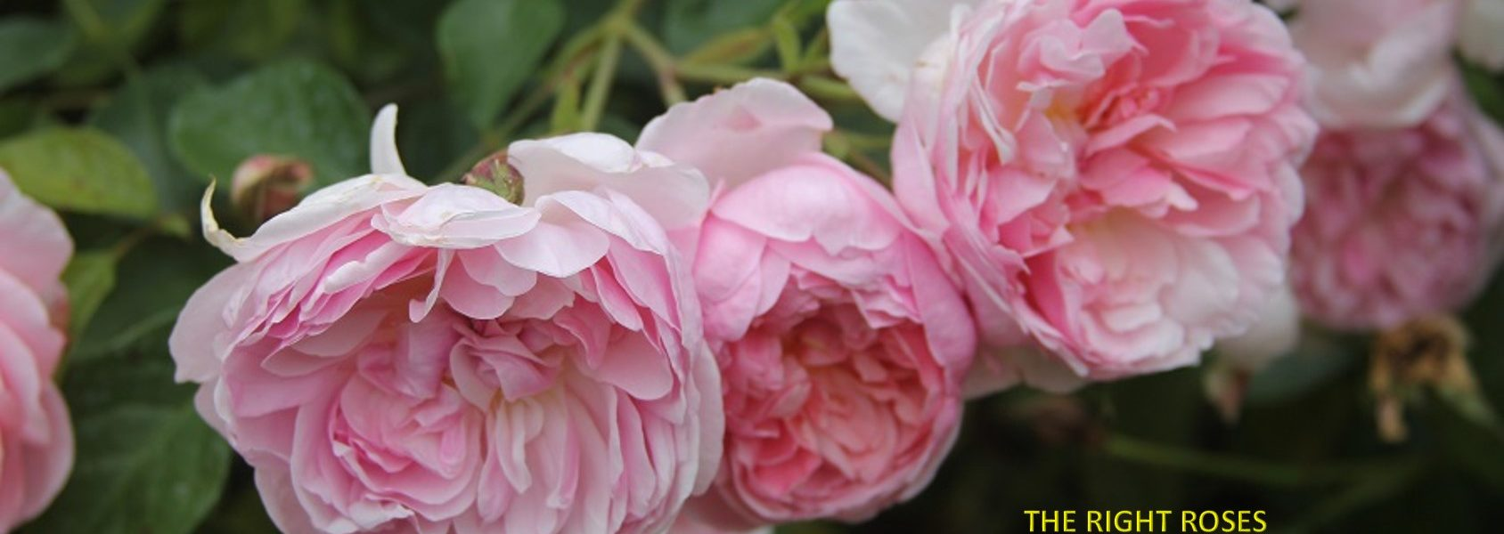 Anne Boleyn rose review the right roses score best top garden store david austin english roses rose products rose rating the right leap rose food fertilizer