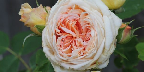 Bathsheba rose review the right roses score best top garden store david austin english roses rose products rose rating the right leap rose food fertilizer