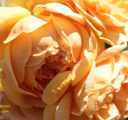 Carolyn Knight rose review the right roses score best top garden store david austin english roses rose products rose rating the right leap rose food fertilizer