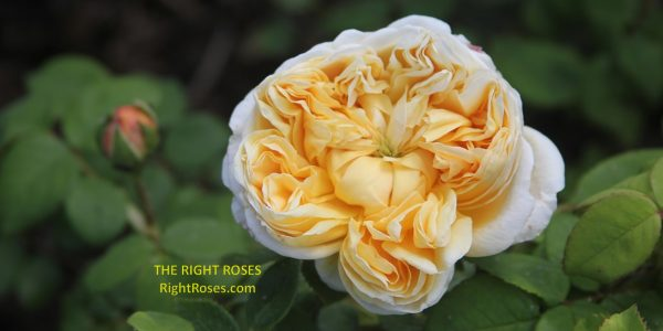 charles darwin rose review the right roses score best top garden store david austin english roses rose products rose rating the right leap rose food