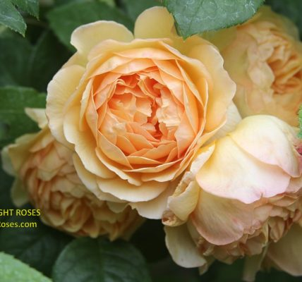 Charlotte rose review the right roses score best top garden store david austin english roses rose products rose rating the right leap rose food fertilizer