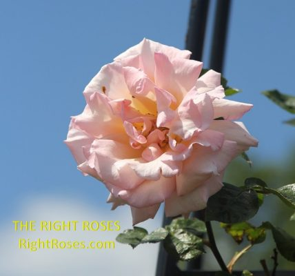 Compassion rose review the right roses score best top garden store david austin english roses rose products rose rating the right leap rose food fertilizer