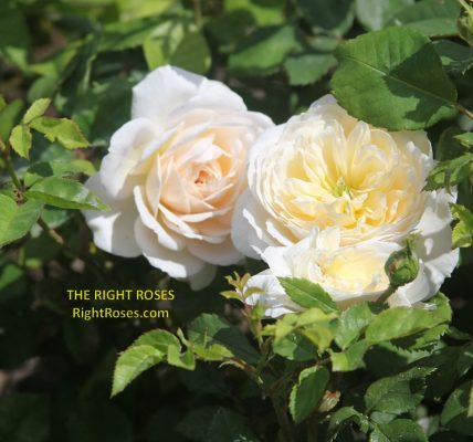 crocus rose review the right roses score best top garden store david austin english roses rose products rose rating the right leap rose food fertilizer