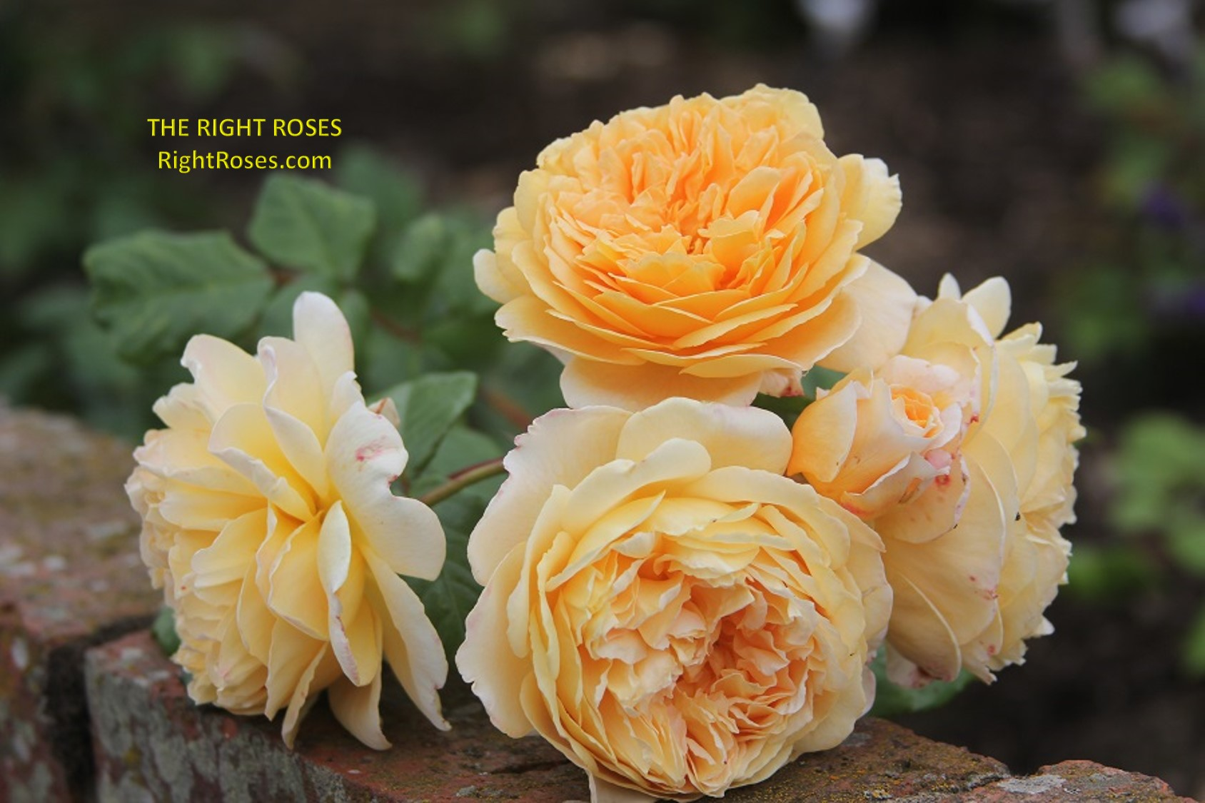crown princess margareta rose review the right roses score best top garden store david austin english roses rose products rose rating the right leap rose food