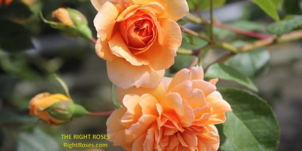 Dame Judi Dench rose review the right roses score best top garden store david austin english roses rose products rose rating the right leap rose food fertilizer