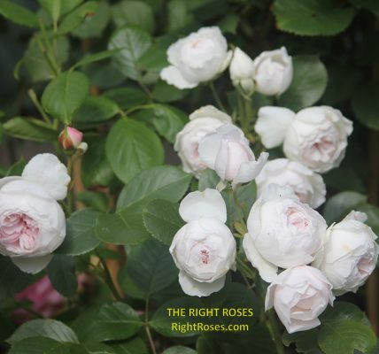 The best rose review of rose 'Earth Angel' 'Herzogin Christiana' by The Right Roses. Our in-depth reviews have been trusted by millions gardeners worldwide. The Right Roses team uses our own The Right Roses Score, which is the most comprehensive rose rating system in the world, to assess the overall quality of a rose. All information and rose products: best top garden store, Rosen Kordes, Rosen Tantau, english roses, rose products, rose rating, the right leap, rose food, fertilizer