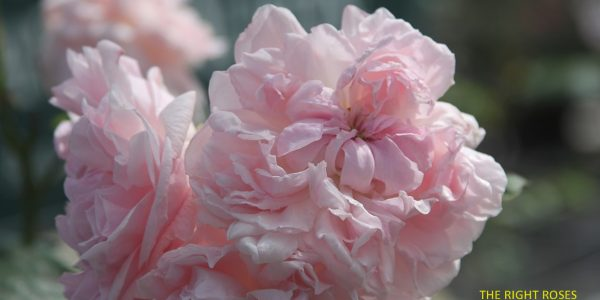 Eglantyne rose review the right roses score best top garden store david austin english roses rose products rose rating the right leap rose food fertilizer
