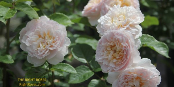 emily bronte rose review the right roses score best top garden store david austin english roses rose products rose rating
