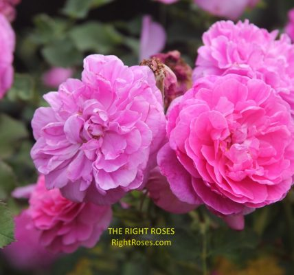England's rose rose review the right roses score best top garden store david austin english roses rose products rose rating the right leap rose food fertilizer