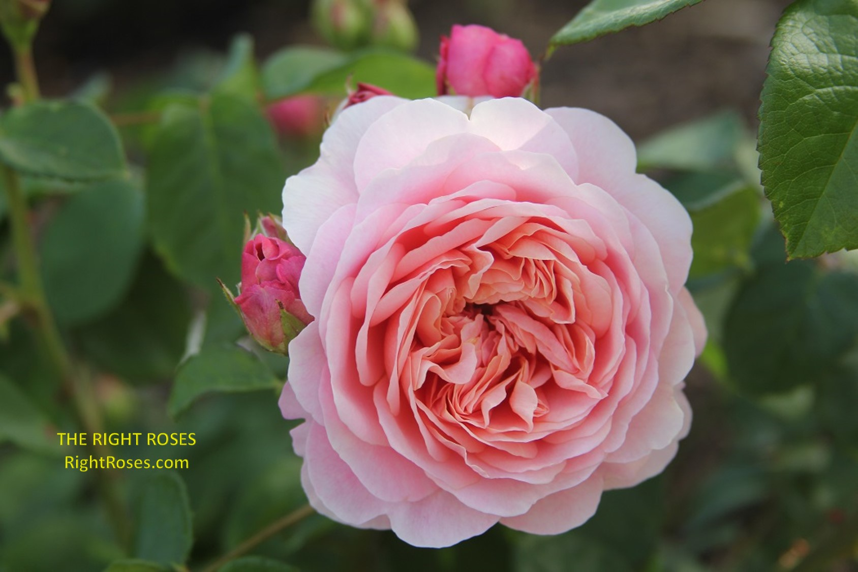 eustacia vye rose review the right roses score best top garden store david austin english roses rose products rose rating