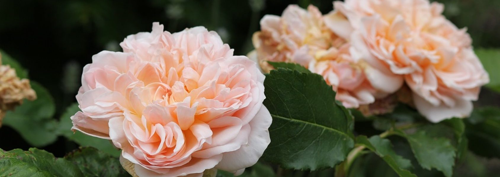 Evelyn rose review the right roses score best top garden store david austin english roses rose products rose rating the right leap rose food fertilizer