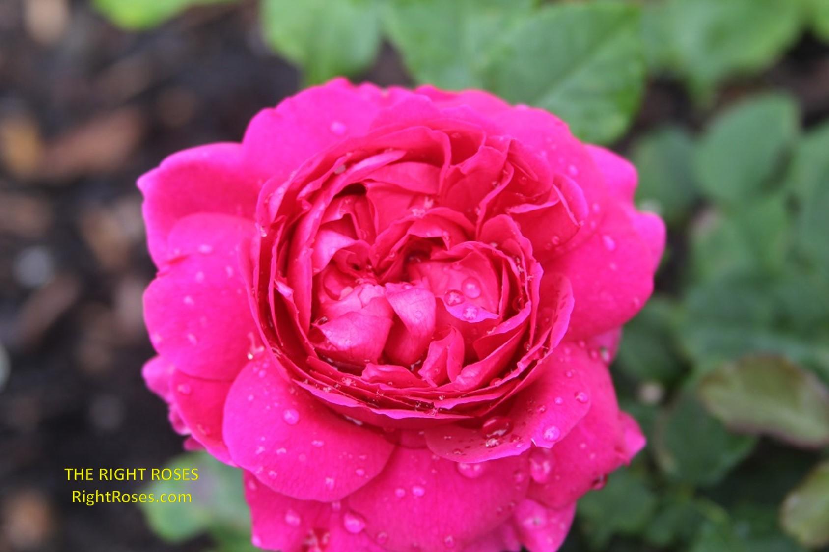 Gabriel Oak rose review the right roses score david austin top best garden store english roses rose products david austin