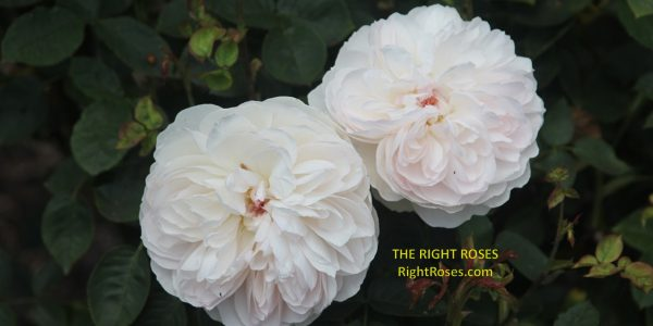 Gentle Hermione rose review the right roses score best top garden store david austin english roses rose products rose rating the right leap rose food fertilizer