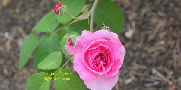 Gertrude Jekyll rose review the right roses score best top garden store david austin english roses rose products rose rating the right leap rose food fertilizer