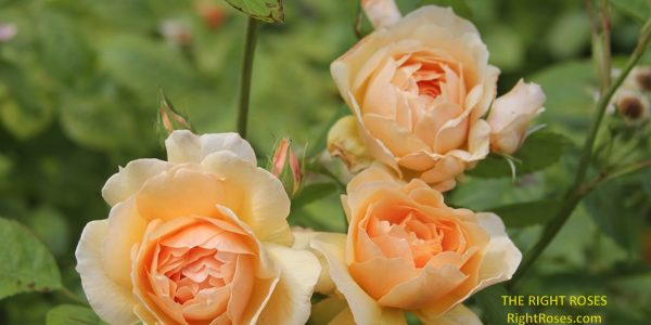 Grace rose review the right roses score best top garden store david austin english roses rose products rose rating the right leap rose food fertilizer