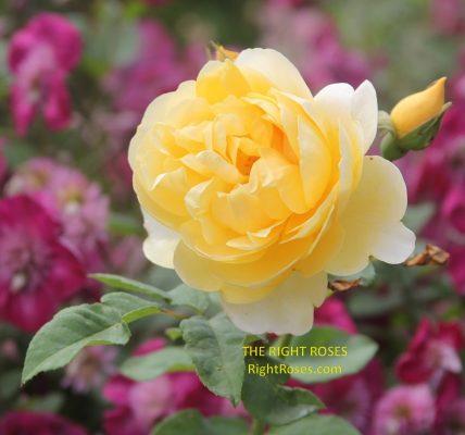 Graham Thomas rose review the right roses score best top garden store david austin english roses rose products rose rating the right leap rose food fertilizer