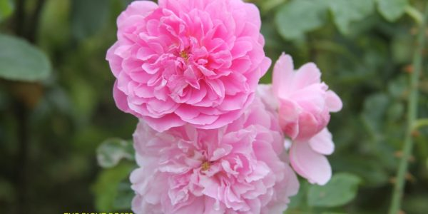 harlow carr rose review the right roses score best top garden store david austin english roses rose products rose rating the right leap rose food fertilizer