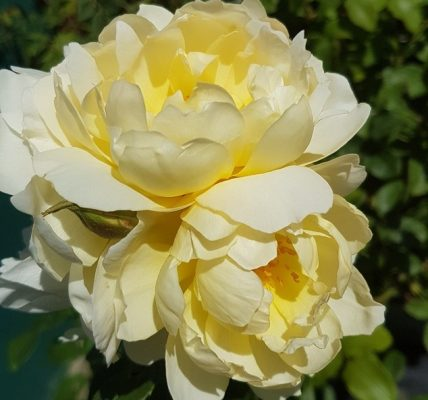 Imogen rose review the right roses score best top garden store david austin english roses rose products rose rating the right leap rose food fertilizer