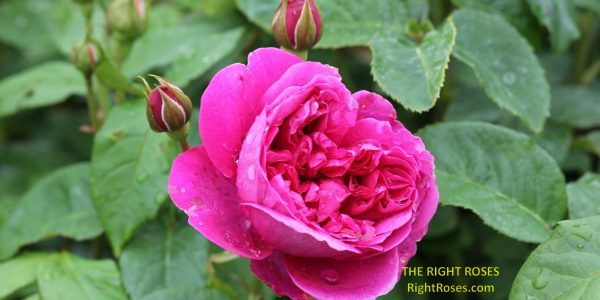 James L Austin rose review the right roses score best top garden store david austin english roses rose products rose rating the right leap rose food fertilizer