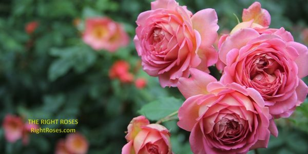 Jubilee Celebration rose review the right roses score best top garden store david austin english roses rose products rose rating the right leap rose food fertilizer
