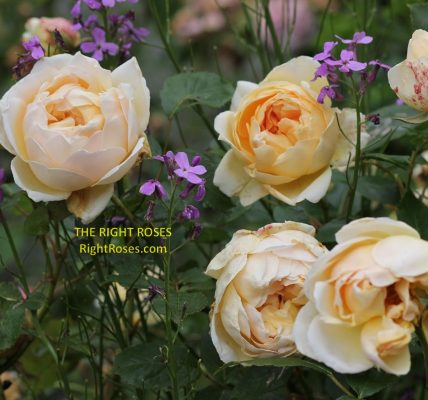 Jude The Obscure rose review the right roses score best top garden store david austin english roses rose products rose rating the right leap rose food fertilizer