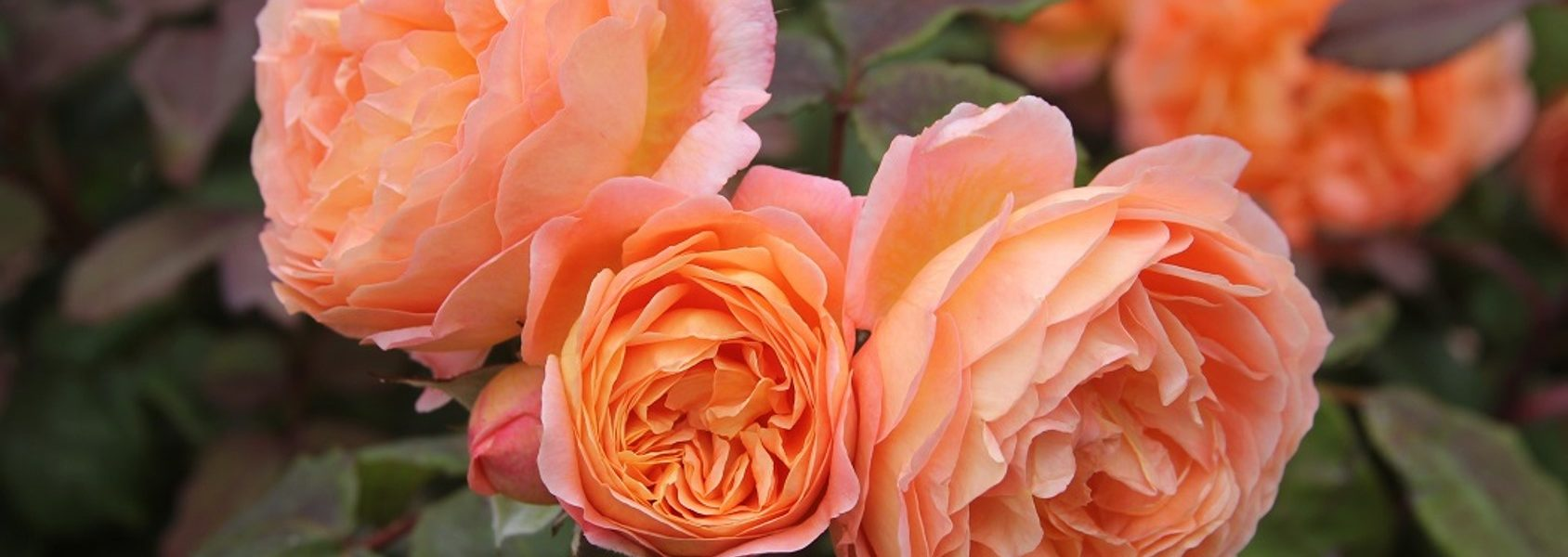 lady emma hamilton rose review the right roses score best top garden store david austin english roses rose products rose rating the right leap rose food fertilizer