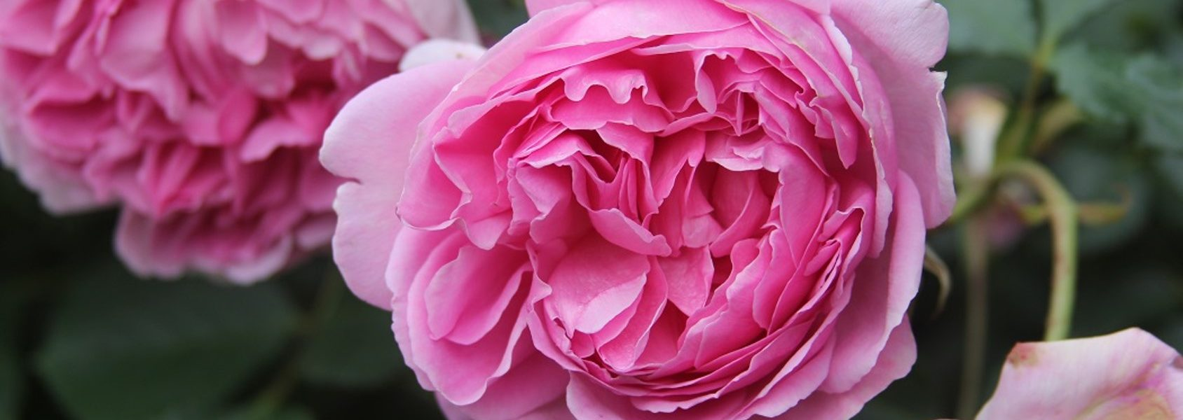 The best rose review of rose 'Maid Marion' by The Right Roses. Our in-depth reviews have been trusted by millions gardeners worldwide. The Right Roses team uses our own The Right Roses Score, which is the most comprehensive rose rating system, to assess the overall quality of a rose. All information and rose products: best top garden store, david austin, english roses, rose products, rose rating, the right leap, rose food, fertilizer