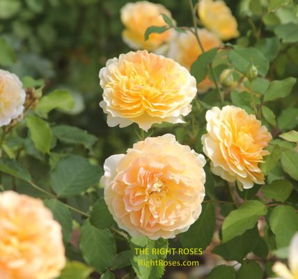 Molineux rose review the right roses score best top garden store david austin english roses rose products rose rating the right leap rose food fertilizer