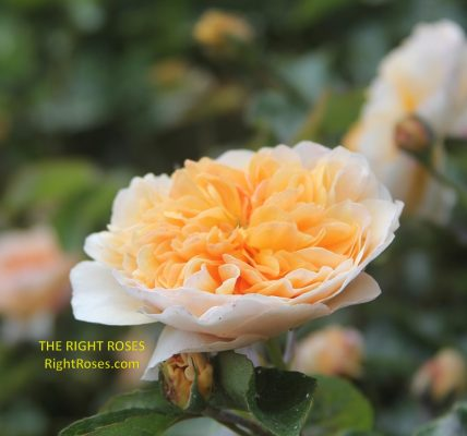 Port Sunlight rose review the right roses score best top garden store david austin english roses rose products rose rating the right leap rose food fertilizer