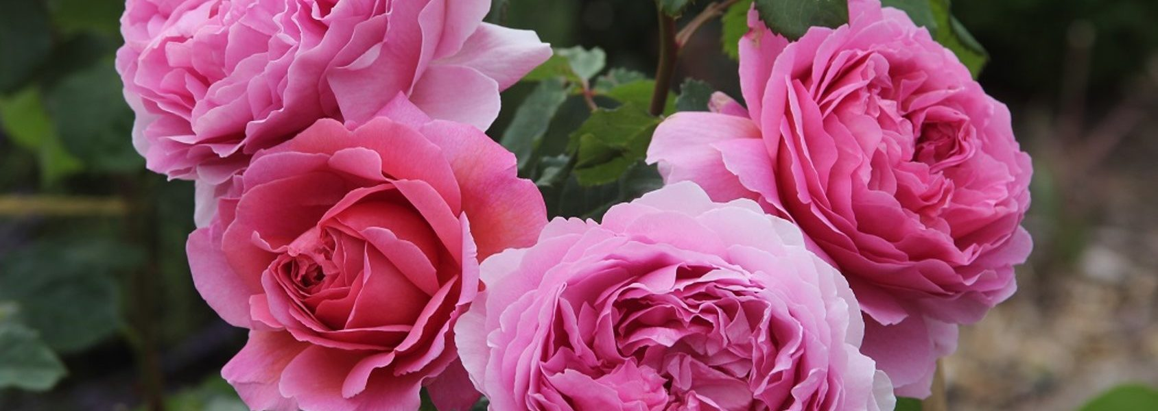 princess alexandra of kent rose review the right roses score best top garden store david austin english roses rose products rose rating the right leap rose food