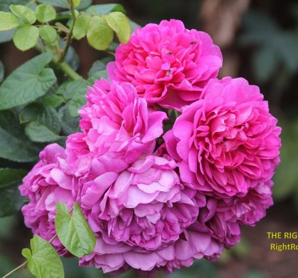 Princess Anne rose review the right roses score best top garden store david austin english roses rose products rose rating the right leap rose food fertilizer