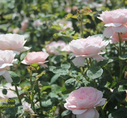 Queen of Sweden rose review the right roses score best top garden store david austin english roses rose products rose rating the right leap rose food fertilizer