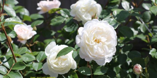 desdemona rose review the right roses score best top garden store david austin english roses rose products rose rating the right leap rose food