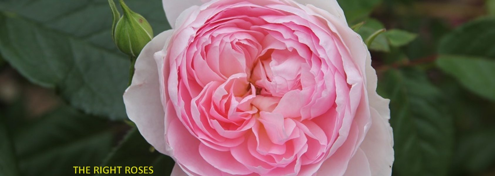Silas Marner rose review the right roses score best top garden store david austin english roses rose products rose rating the right leap rose food fertilizer