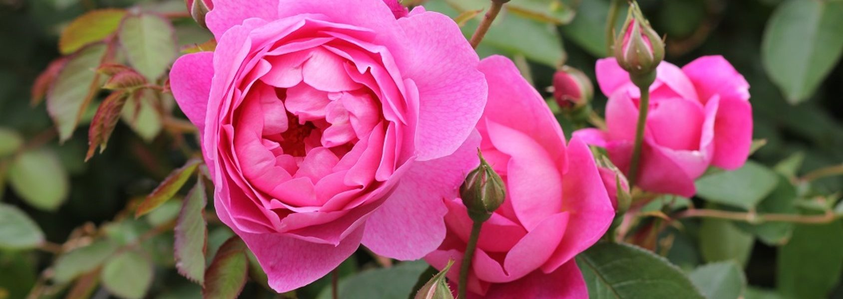 royal jubilee rose review the right roses score best top garden store david austin english roses rose products rose rating the right leap rose food