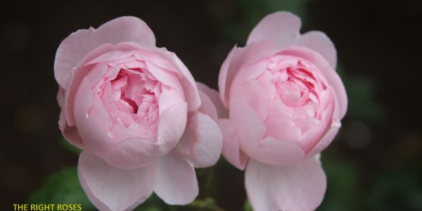 SCEPTER'D ISLE rose review the right roses score best top garden store david austin english roses rose products rose rating the right leap rose food fertilizer