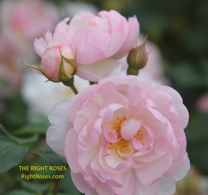 Scarborough Fair rose review the right roses score best top garden store david austin english roses rose products rose rating the right leap rose food fertilizer