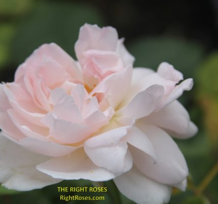 Sharifa Asma rose review the right roses score best top garden store david austin english roses rose products rose rating the right leap rose food fertilizer