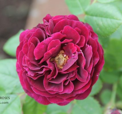 SOUVENIR DU DOCTEUR JAMAIN rose review the right roses score best top garden store david austin english roses rose products rose rating the right leap rose food fertilizer