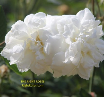 Susan Williams Ellis rose review the right roses score best top garden store david austin english roses rose products rose rating the right leap rose food fertilizer