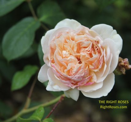 Sweet Juliet t rose review the right roses score best top garden store david austin english roses rose products rose rating the right leap rose food fertilizer