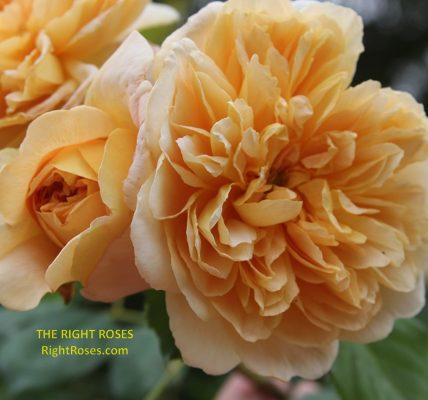 Tea Clipper rose review the right roses score best top garden store david austin english roses rose products rose rating the right leap rose food fertilizer