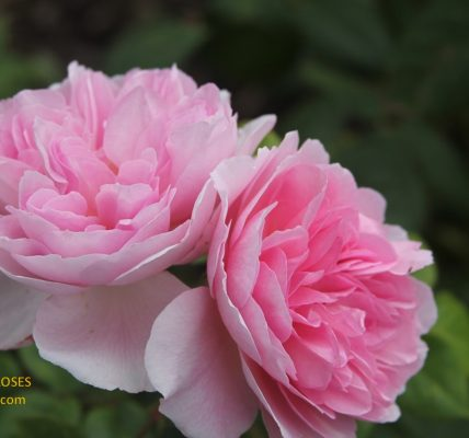 the ancient mariner rose review the right roses score best top garden store david austin english roses rose products rose rating the right leap rose food fertilizer