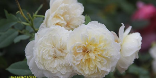 The Country Parson rose review the right roses score best top garden store david austin english roses rose products rose rating the right leap rose food fertilizer