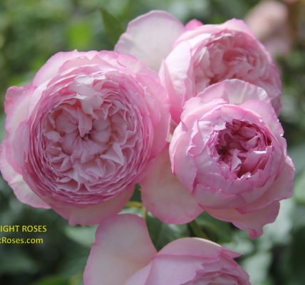 the mill on the floss rose review the right roses score best top garden store david austin english roses rose products rose rating the right leap rose food fertilizer