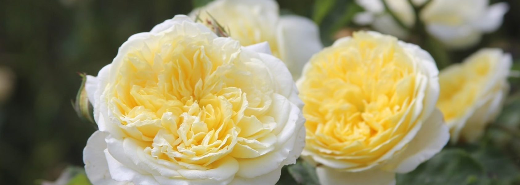The Pilgrim rose review the right roses score best top garden store david austin english roses rose products rose rating the right leap rose food fertilizer