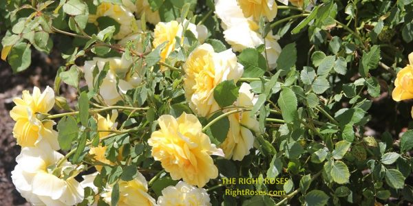 the poet's wife rose review the right roses score best top garden store david austin english roses rose products rose rating the right leap rose food fertilizer